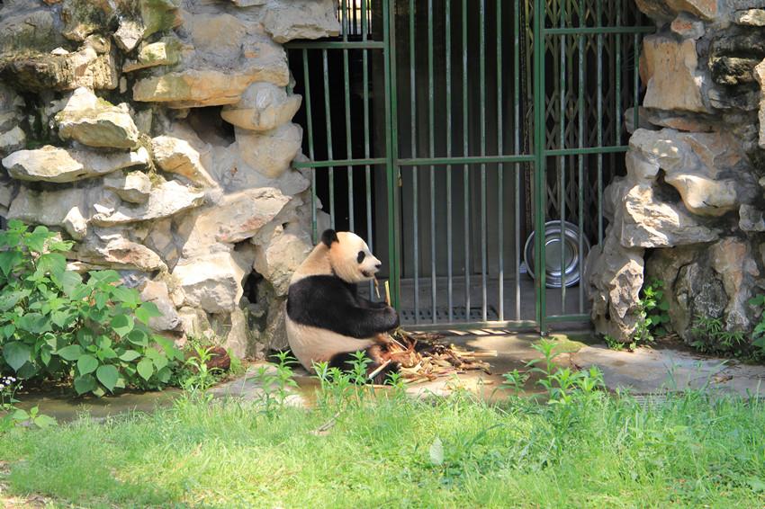竹博园 熊猫